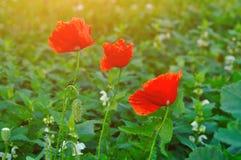 Rote Mohnblume blüht - im lateinischen Papaver - in der Wiese unter warmem Sonnenunterganglicht Stockbild