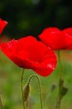 Rote Mohnblume blüht Makroschuß Stockfotos
