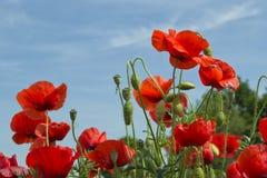 Rote Mohnblume blüht mit einem Hintergrund des blauen Himmels Lizenzfreies Stockbild
