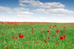 Rote Mohnblume blüht Wiese Stockbild