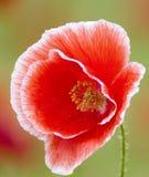 Rote Mohnblume-Blume Stockbilder