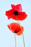 Rote Mohnblume-Blumen Lizenzfreies Stockbild