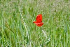 Rote Mohnblume in der Mitte auf dem Feld mit den grünen Weizenähren Stockbild
