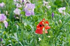 Rote Mohnblume in der Mitte auf einem Feld mit Iris Stockfotografie