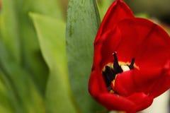 Rote Mohnblume ein Zeichen von love1 Stockfoto