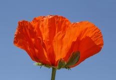 Rote Mohnblume gegen blauen Himmel Lizenzfreie Stockfotografie