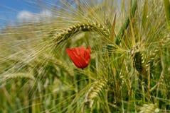 Rote Mohnblume im Weizen Lizenzfreie Stockfotografie