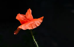 Rote Mohnblume mit dunklem Hintergrund Stockfoto