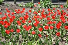 Rote Mohnblume:- lizenzfreie stockbilder