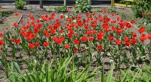 Rote Mohnblume:- lizenzfreies stockbild