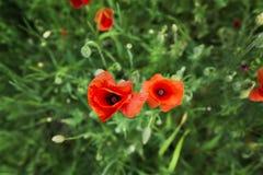 Rote Mohnblume und grünes Gras Stockfoto