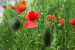 Rote Mohnblume und grünes Gras Lizenzfreie Stockfotografie