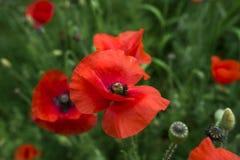 Rote Mohnblume und grünes Gras Stockbild