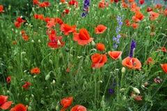 Rote Mohnblume und grünes Gras Lizenzfreies Stockbild