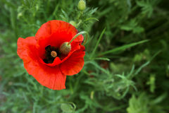 Rote Mohnblume und grünes Gras Lizenzfreies Stockfoto