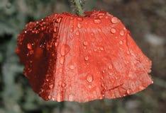 Rote Mohnblume und Regentropfen lizenzfreie stockfotografie