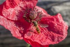 Rote Mohnblume und wenig Fliege Stockbild