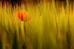 Rote Mohnblume unter den Ohren der Gerste Lizenzfreie Stockfotos
