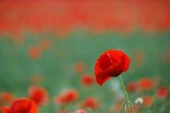 Rote Mohnblumeblume lizenzfreie stockfotos