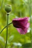 Rote Mohnblumeblume Stockfotos