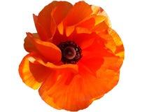 Rote Mohnblumeblume Lizenzfreies Stockfoto