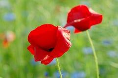 Rote Mohnblumeblumen Lizenzfreies Stockbild