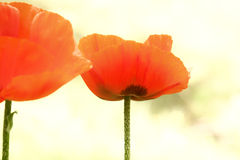 Rote Mohnblumeblumen Stockfotografie
