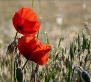 Rote Mohnblumeblumen Stockfotos