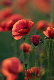 Rote Mohnblumeblumen Stockbild