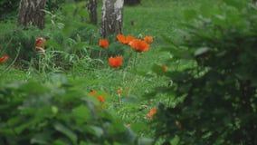 Rote Mohnblumeblumen stock video