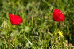 Rote Mohnblumeblumen auf dem Gebiet stockbild