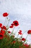 Rote Mohnblumeblumen - Papaveraceae-Papaver rhoeas Stockbilder