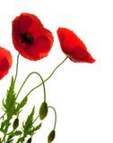 Rote Mohnblumen über weißem Hintergrund Lizenzfreies Stockfoto