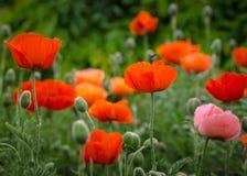 Rote Mohnblumen Lizenzfreie Stockbilder