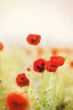 Rote Mohnblumen Stockfoto