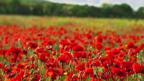 Rote Mohnblumen stock video