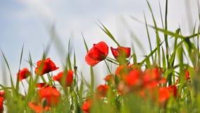 Rote Mohnblumen stock footage