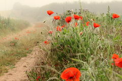 Rote Mohnblumen lizenzfreie stockfotos