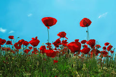 Rote Mohnblumen Stockbild