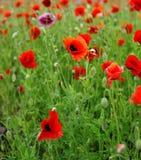Rote Mohnblumen Lizenzfreies Stockfoto