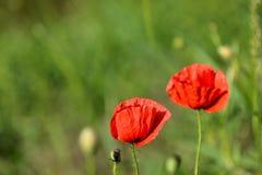 Rote Mohnblumen Stockbilder