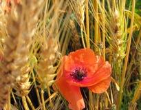 Rote Mohnblumen Stockfotos