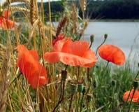 Rote Mohnblumen Lizenzfreies Stockbild