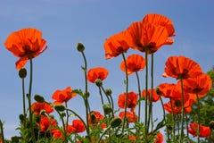 Rote Mohnblumen auf dem blauen Himmel Stockfotos