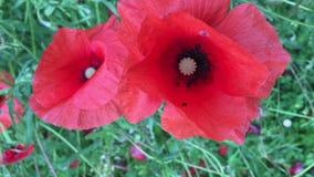 Rote Mohnblumen auf dem Feld, Blumen auf Wiese, Rasen, Sommer-Landschaft stock video