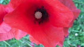Rote Mohnblumen auf dem Feld, Blumen auf Wiese, Rasen, Sommer-Landschaft und Fliegenwespe stock video