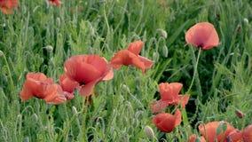 Rote Mohnblumen auf dem Feld, große Blumen stock video