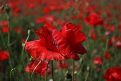 Rote Mohnblumen auf dem Gebiet Lizenzfreies Stockbild