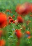 Rote Mohnblumen auf dem Gebiet lizenzfreies stockfoto