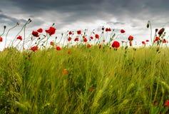 Rote Mohnblumen auf dem Gebiet Stockfotos